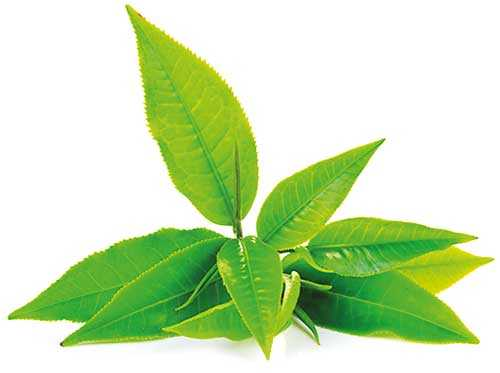 Tea industry's performance in 2018 and prospects for 2019 Image_d5553562cd