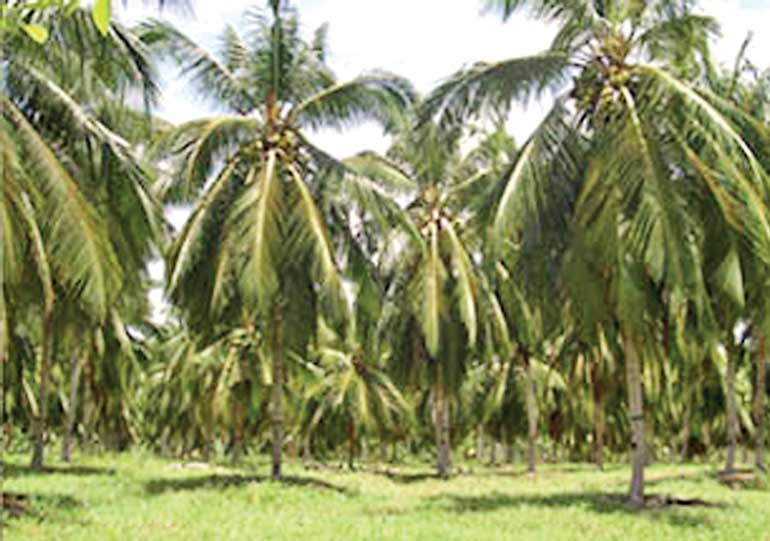 Rdb Bank To Offer Relief For Coconut Cultivation And