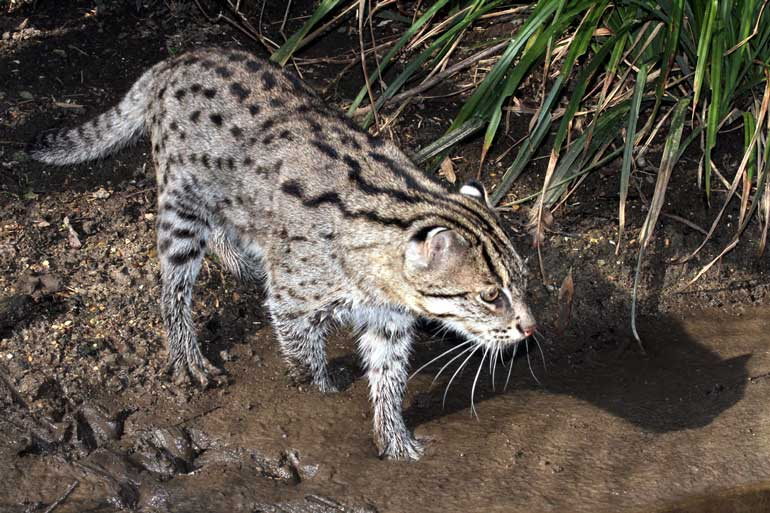 First ever conservation strategy for the fishing cat ft for Cat fishing 2