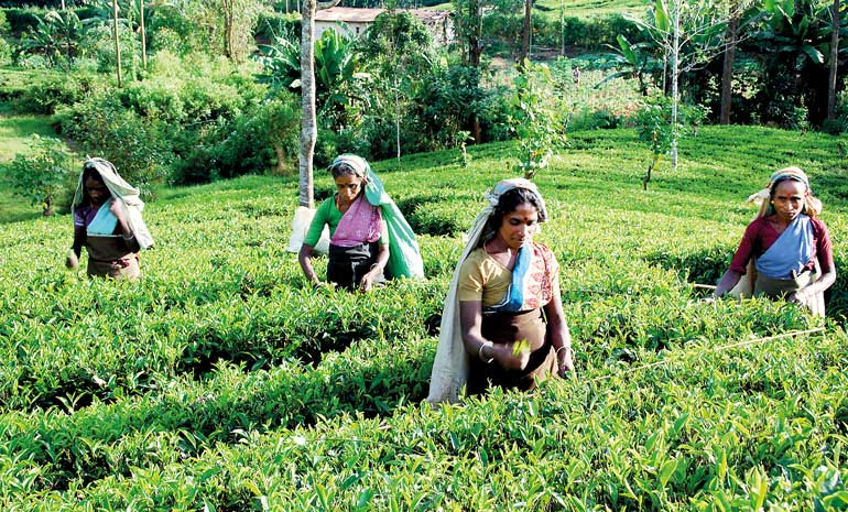 tea-plantations_16