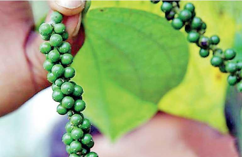 Raising standards in the Sri Lankan pepper industry | Daily FT